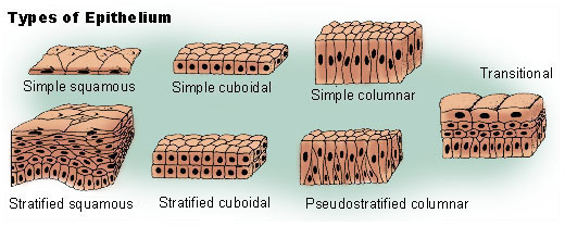 histology of epithelium
