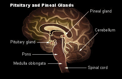pituitary for Histology - World