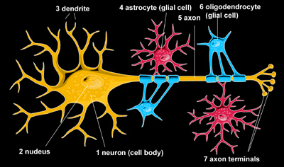 histology of neurons