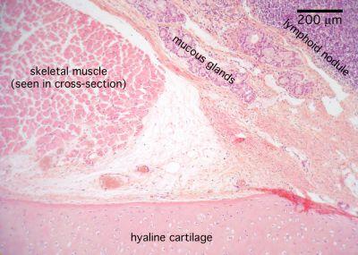 Larynx Histology Slide images