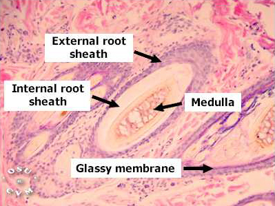 lab 5 histology and membranes