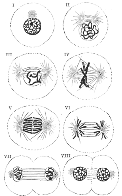 Dna rna and chromosomes mitosis labels histology illustration mitosis labels histology illustration ccuart Image collections