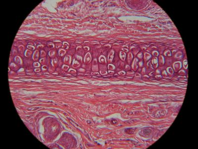 Cartilage Histology Elastic Cartilage Histology Slide