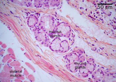 Epiglottis Histology Labeled Epiglottis Histology Labeled