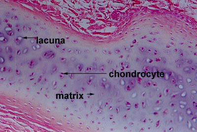 Histology World Histology Fact Sheet Cartilage